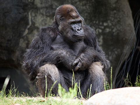 Ivan em 2012 no Zoo de Atlanta. [Fonte: http://www.zooatlanta.org/ivan#L-JSSe]